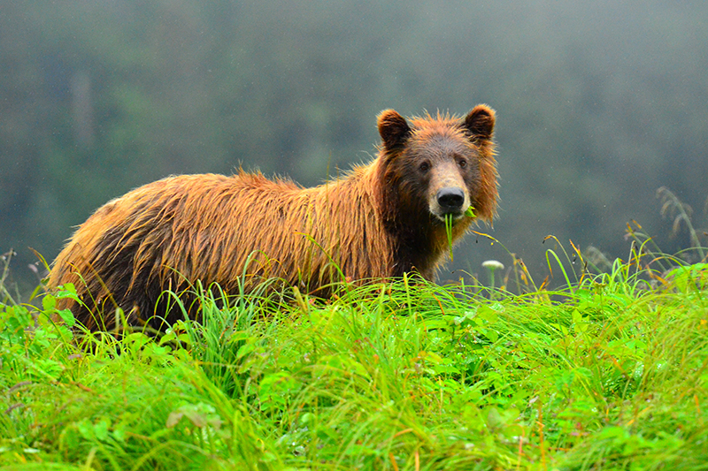 Brown Bear Stare Down